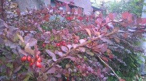 autumnberries