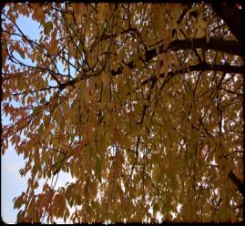autumnleavessquare