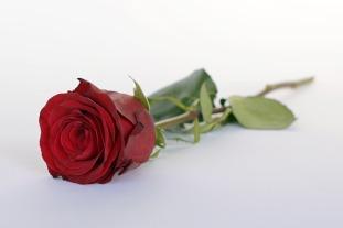 rose-2020365_640