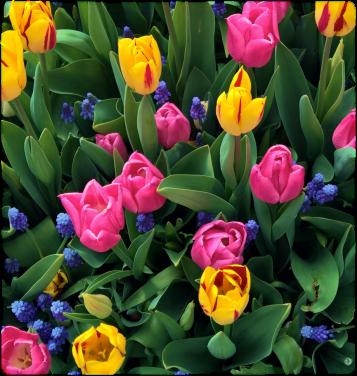 tulipsF